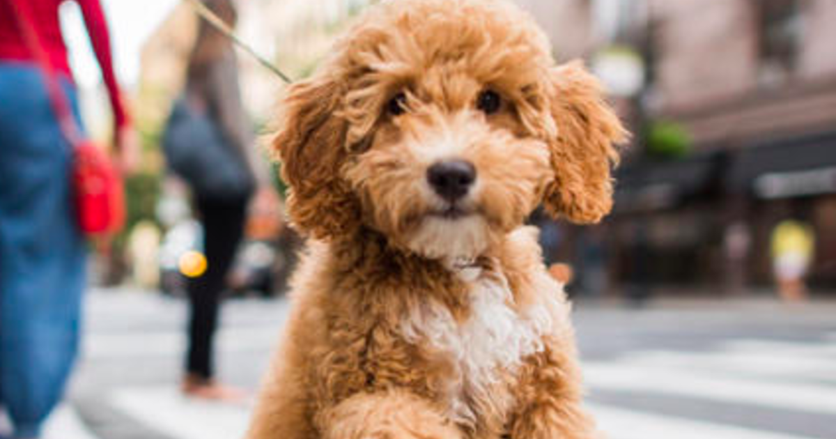 Labradoodle creator calls the dog breed his