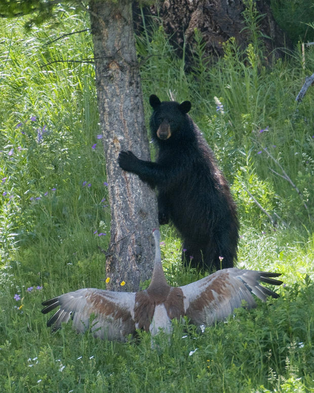 black-bear-chased-up-a-tree-verne-lehmberg-620-tall.jpg