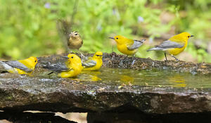 prothonotary-warblers-and-worm-eating-warbler-verne-lehmberg-promo.jpg