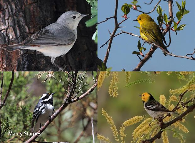 bird-species-lucys-warbler-female-yellow-warbler-black-throated-gray-warbler-hermit-warbler-marcy-starnes-620.jpg