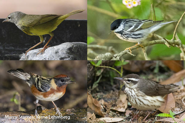 bird-species-macgillivrays-warbler-blackpoll-warbler-louisiana-waterthrush-bay-breasted-warbler-marcy-starnes.jpg