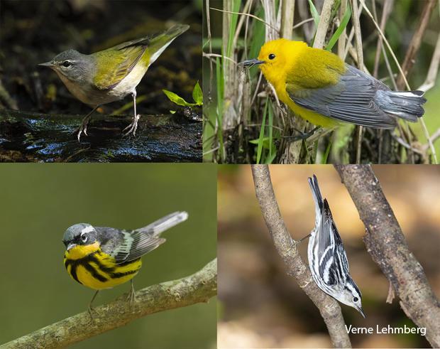 bird-species-tennessee-warbler-prothonotary-warbler-magnolia-warbler-black-white-warbler-verne-lehmberg-620.jpg