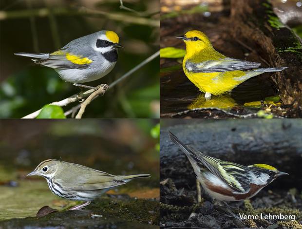 bird-species-golden-winged-warbler-blue-winged-warbler-ovenbird-chestnut-sided-warbler-verne-lehmberg-620.jpg