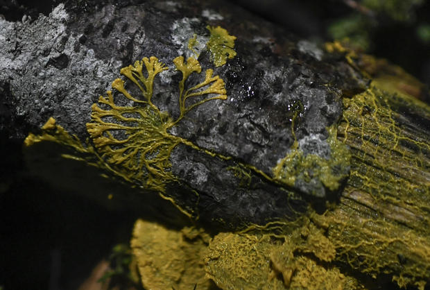 Physarum Polycephalum