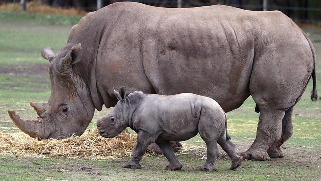 Taronga Western Plains Zoo Welcomes Baby White Rhino