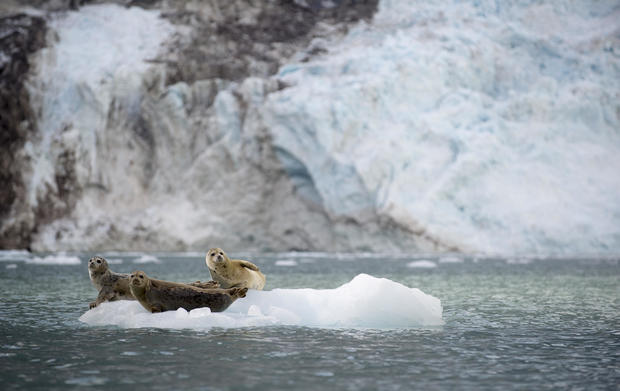 Harbor Seals Sit on an Ice Flow in Alaska