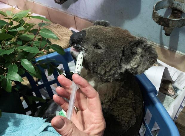 A burnt koala named Anwen