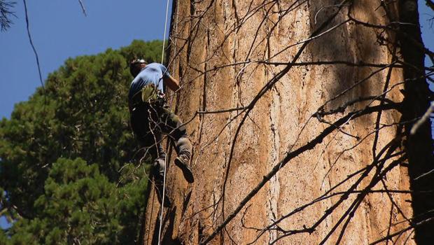 jonathan-vigliotti-climbs-sequoia-tree-620.jpg