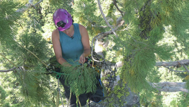 wendy-baxter-collects-tree-branch-samples-620.jpg