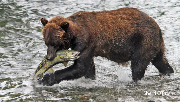 brown-bear-with-chum-salmon-sherri-obrien-620.jpg