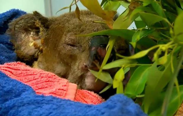 koala-lewis-australia.jpg