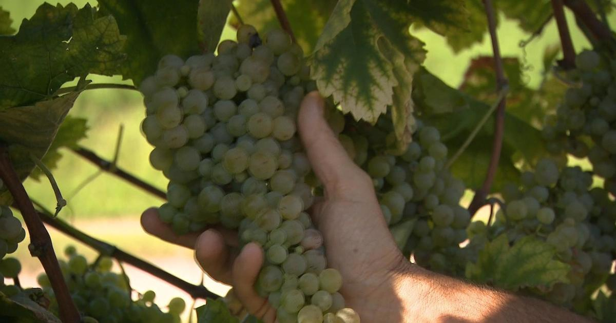 """Climate change is threatening Prosecco vineyards: """"The vine is like a thermometer"""""""