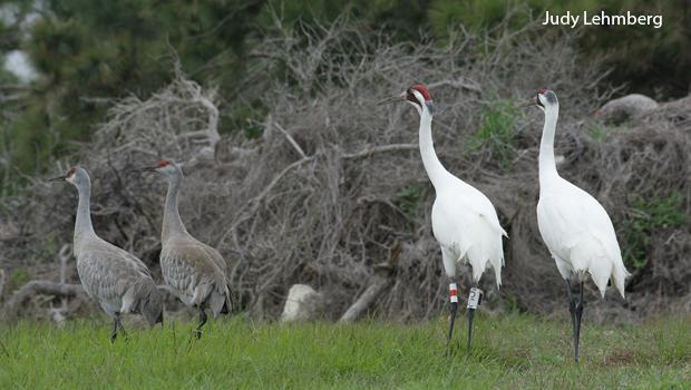 sandhills-and-whooping-cranes-judy-lehmberg-620.jpg