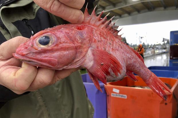 Rockfish Rebound