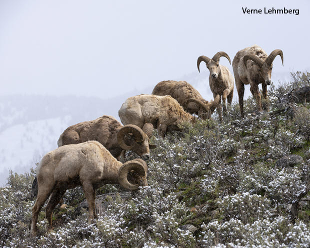 a-group-of-male-bighorns-grazing-during-a-late-spring-snow-verne-lehmberg-620.jpg