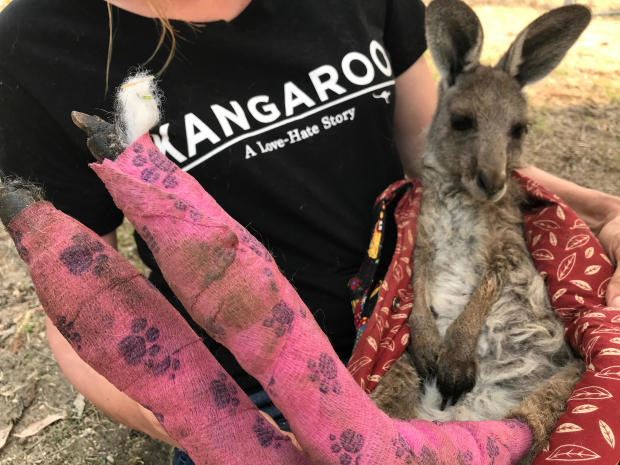 WIRES volunteer and carer Tracy Dodd holds a kangaroo with burnt feet pads after being rescued from bushfires in Australia's Blue Mountains area