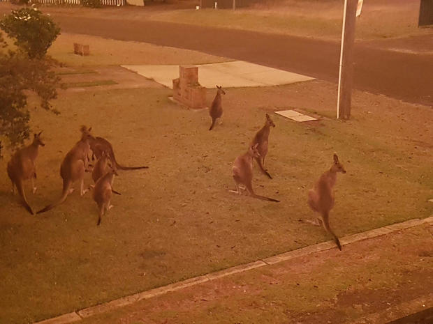 Kangaroos gather at a residential law as bushfires continue to spread