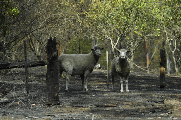 Sheep are seen on a fire-damaged property in Sarsfield, East Gippsland