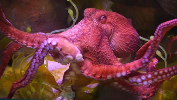 octopus-620.jpg