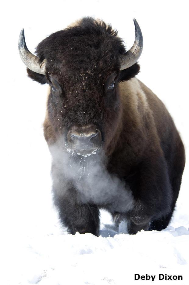 bison-closeup-vertical-2-deby-dixon.jpg