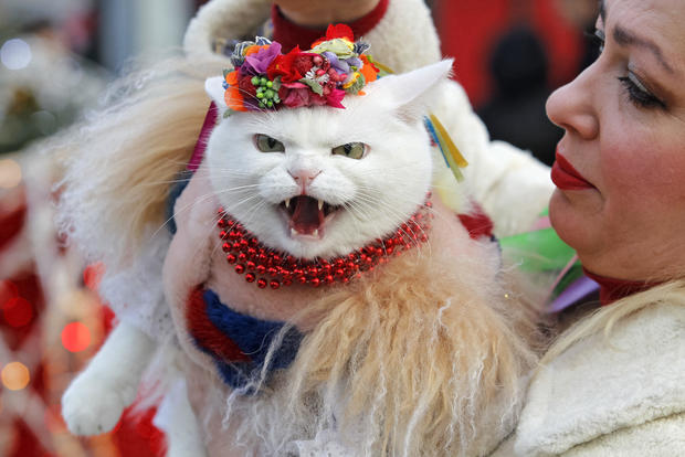 A cat dressed in a traditional outfit takes part during the