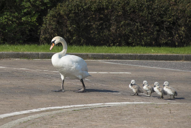 Teaching their kids how to cross the road