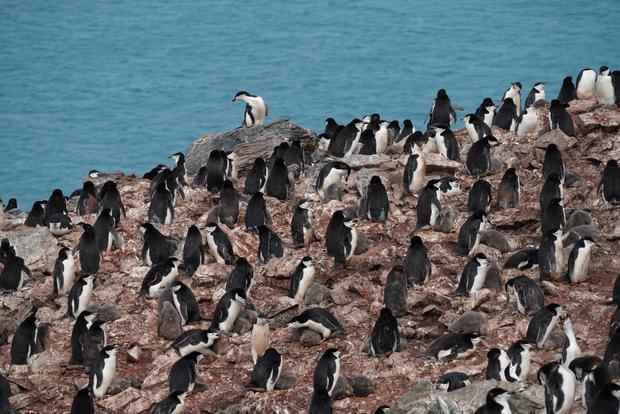 elephant-island-penguins-01.jpg