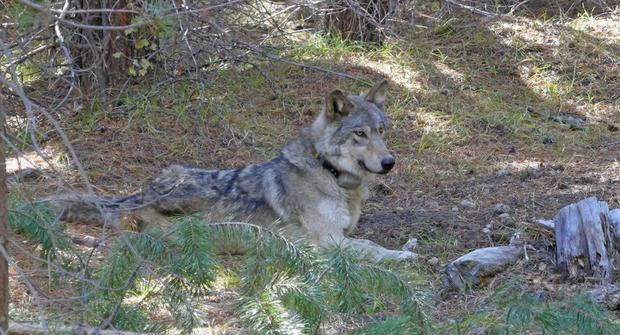 Grey Wolf Dead