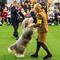 An Old English Sheepdog is seen during breed judging at the 144th Annual Westminster Kennel Club Dog Show in New York