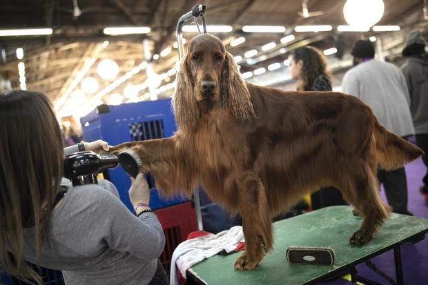 Photos from the 2020 Westminster Dog Show