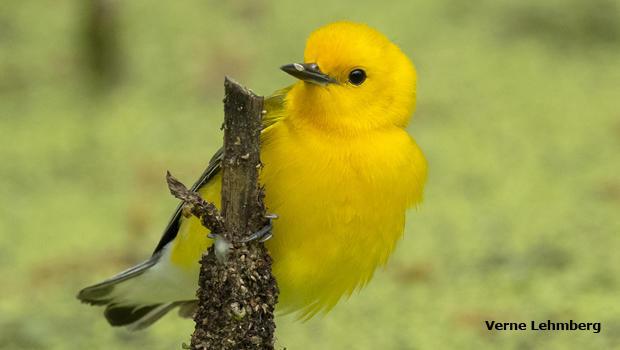 pronothotary-warbler-verne-lehmberg-620.jpg