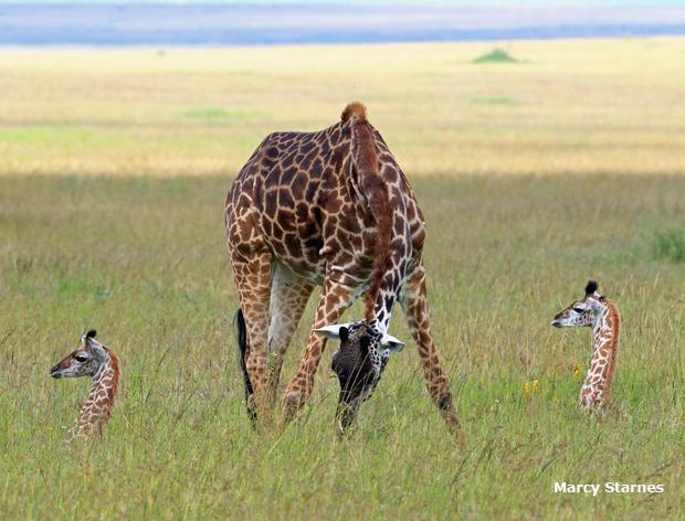 giraffe-with-twins-marcy-starnes-620.jpg