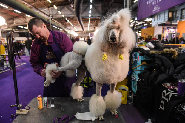 Westminster Kennel Club Hosts Annual Dog Show In New York
