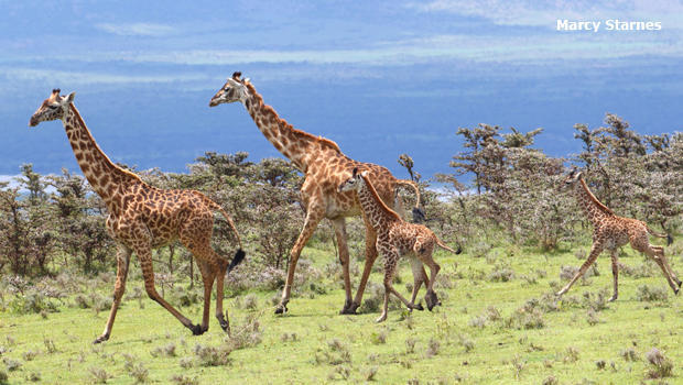 maasai-giraffe-family-marcy-starnes-620.jpg