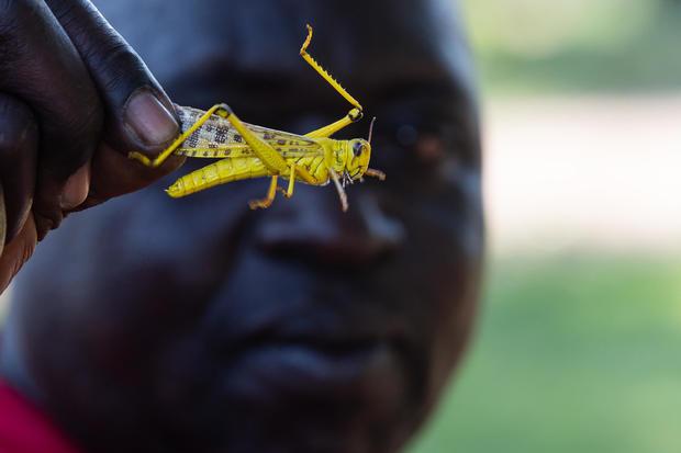 Plagues Of Locusts Arrive In Uganda