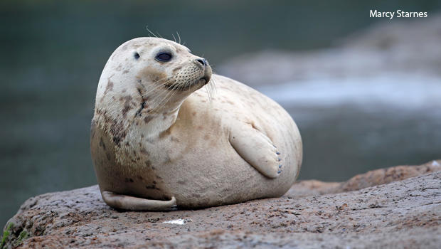 a-harbor-seal-outside-the-monterey-bay-aquarium-marcy-starnes-620.jpg