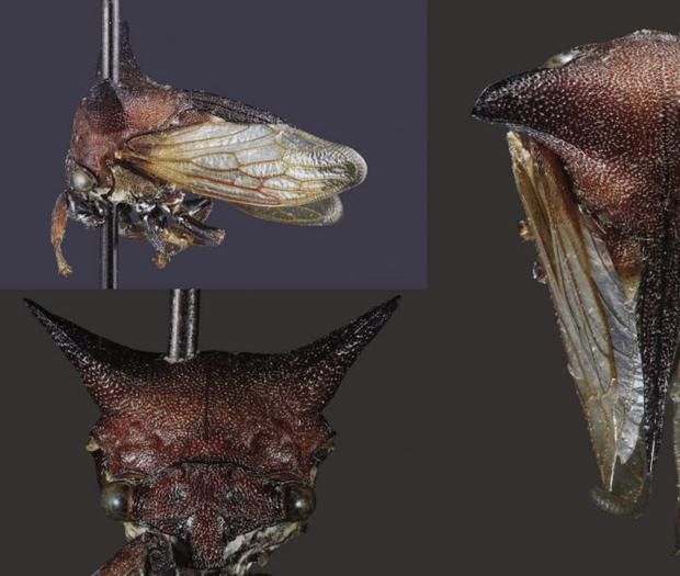 New bug species named after Lady Gaga
