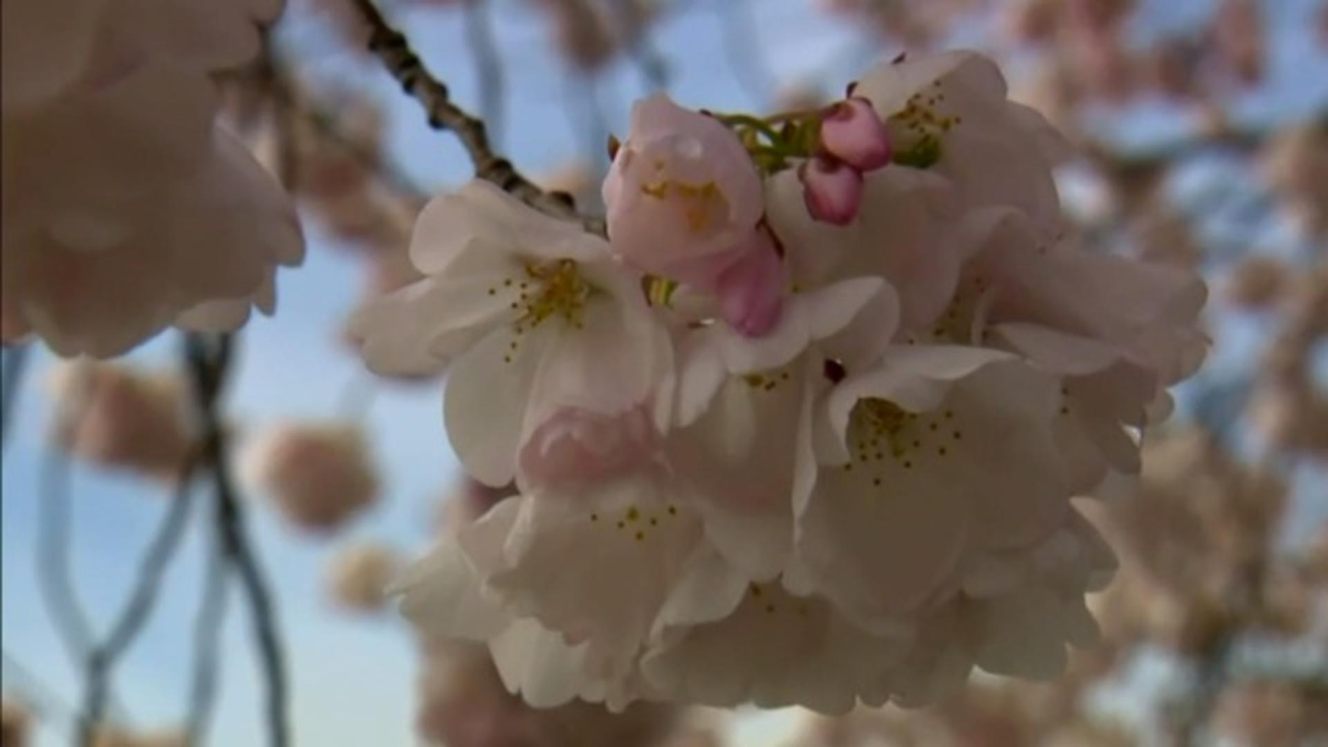 Nature: Cherry blossoms - CBS News