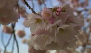 cbsn-fusion-nature-cherry-blossoms-thumbnail-459929-640x360.jpg