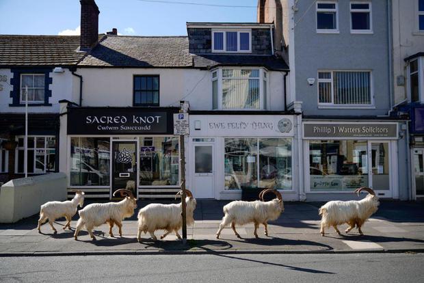 Goats Roam Welsh Coronavirus