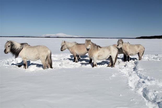 pleistocene-park-herds-of-herbivores-preserve-the-permafrost-even-under-strong-global-warming.jpg