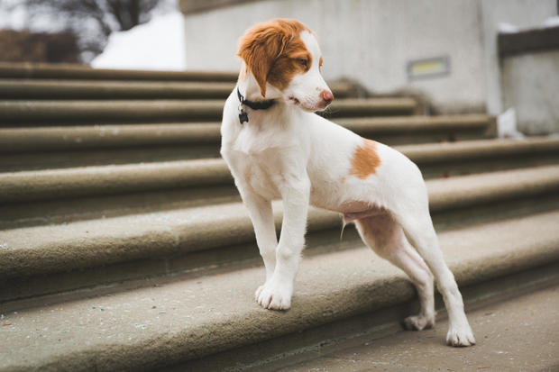 40. Brittany spaniel - The most popular dog breeds in America - Pictures -  CBS News