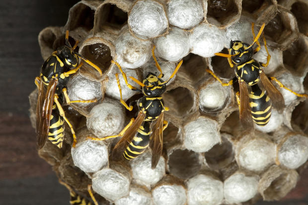 Macro of paper wasp on cells.