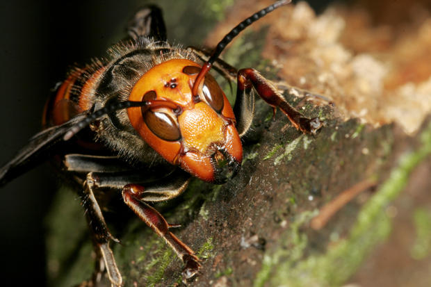 """Murder hornet"" spotted in the United States"