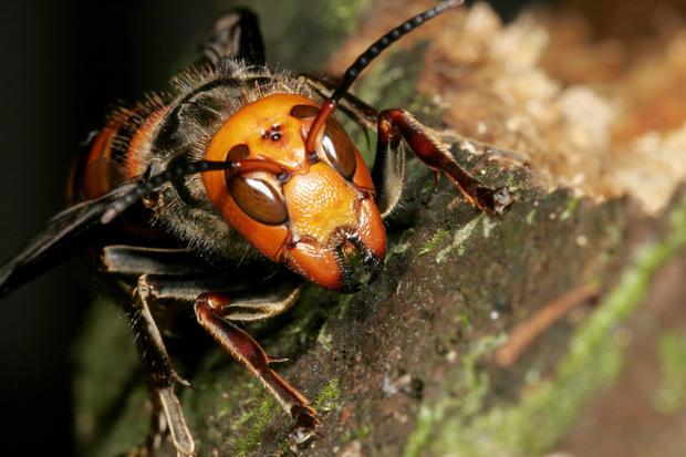 Japanese Giant Hornet, Vespa mandarinia, New Queen, Hase Valley, Nagano prefecture, Japan