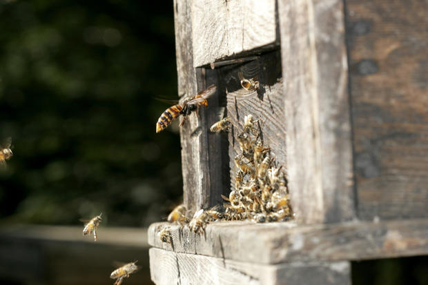 Japanese Giant Hornet, Vespa mandarinia, Hornet attacking european bee hive, start of mass attack, Hase Valley, Nagano prefecture, Japan