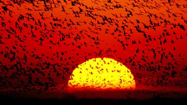 joel-sartore-sandhill-cranes-sun-620.jpg