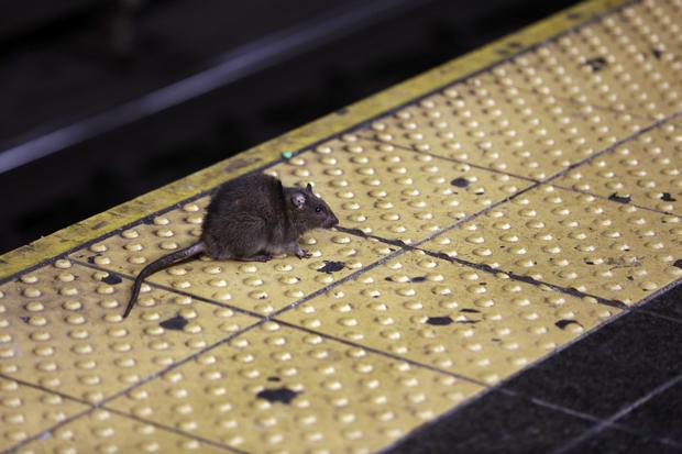 New York City Rats
