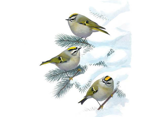 david-sibley-three-golden-crowned-kinglets-on-a-winter-spruce-tree-620.jpg