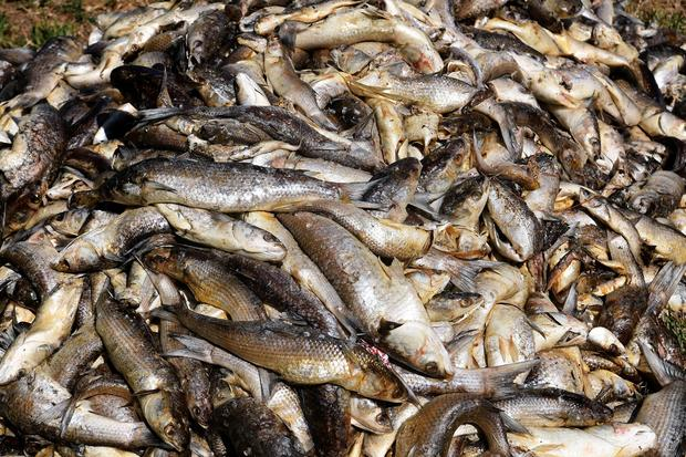 climate change mass fish death